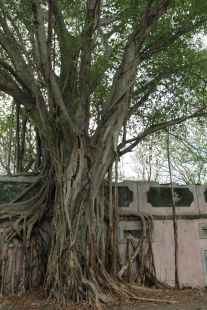 A tree that has subsequently grown over one of the half-buried buildings in the town of Armero.